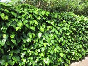 Ogrodzenie pokryte bluszczem