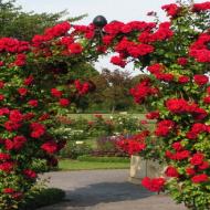 Pnące róże fot. Rosarium Szkółka Róż