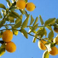 drzewko cytrynowe www.sxc.hu