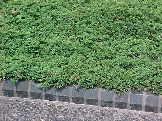 juniperus horyzontalis źródło Wikimedia