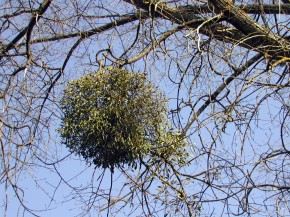 jemioła - pasożytująca na drzewie