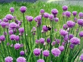 kwitnący czosnek