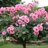 róża odmiany pakistańskiej